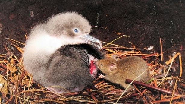 Kinh hoàng cảnh chuột gặm nhấm, xé thịt hải âu đến chết