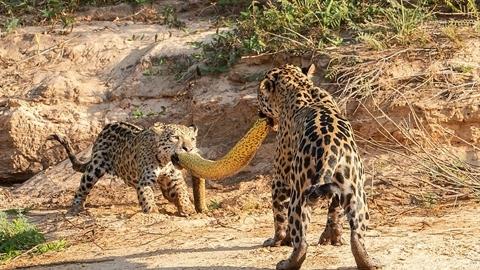 Hồi kết mẹ con báo đốm kéo co bằng xác trăn lớn