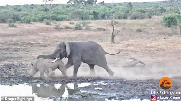 Tê giác mẹ liều đánh voi, nhận kết bẽ bàng