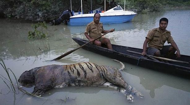 Hổ và tê giác bỏ mạng gần nhau: Nguyên nhân bất ngờ
