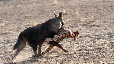 Kinh ngạc: Linh cẩu hiếm chén thịt báo săn
