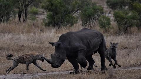 Linh cẩu hợp sức săn tê giác: Làm liều ăn nhiều