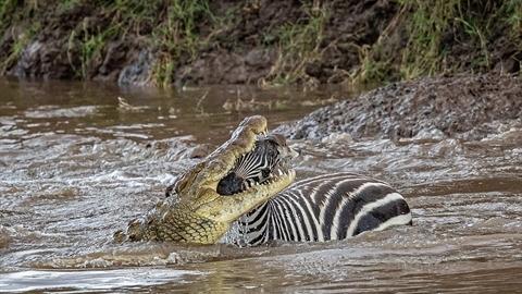 Cá sấu ngoạm đầu ngựa vằn: Không có phép màu