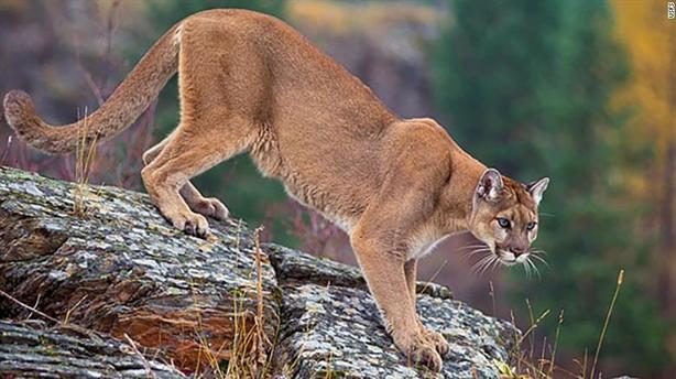 Lý do bất ngờ phải sát hại bầy sư tử núi