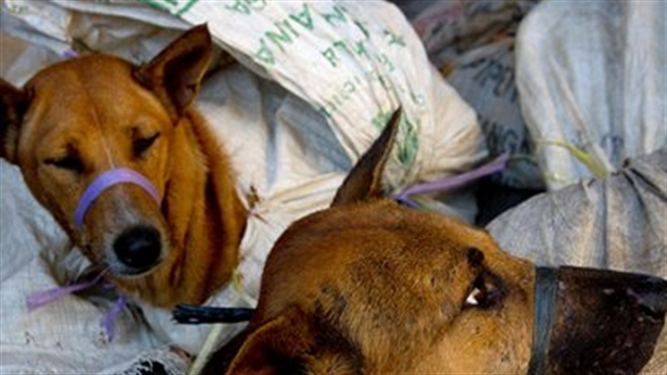 Ăn mạnh thịt chó khi lợn đắt: Lo cẩu tặc được mùa