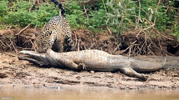 Báo đốm lại lôi cá sấu khủng lên bờ ăn thịt