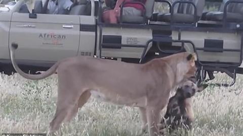 Sư tử tham lam gặp chó hoang tinh ranh: Mất tất cả