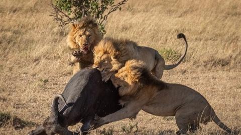 Gặp bầy sư tử dữ, trâu rừng bỏ mạng không chống cự