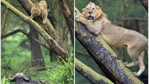 Trăm trâu rừng truy đuổi, sư tử co rúm trên cây
