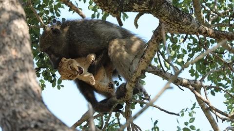 Khỉ đầu chó bắt cóc sư tử con: Cái kết đau lòng