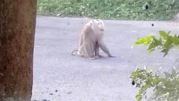 Xử khỉ quý hiếm liên tục cắn người: Đau đầu họp