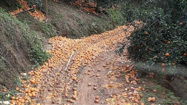Cam Hà Giang rụng đầy đường: Đừng ham giá cao