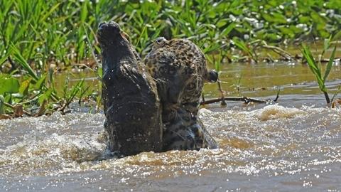 Báo đốm xuống sông tử chiến cá sấu: Cái kết sốc