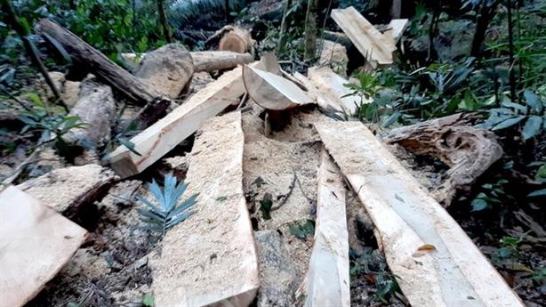 Rừng dổi trăm tuổi bị xẻ thịt: Khẳng định không tiếp tay