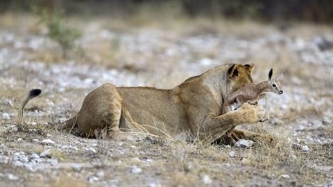 Sư tử bảo vệ linh dương khỏi kẻ săn mồi