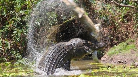 Kinh hãi cá sấu giết đồng loại, xé thịt làm mồi ngon