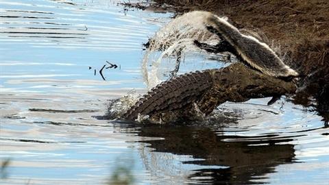 Cá sấu sông Nile xơi tái 'kẻ bố đời'