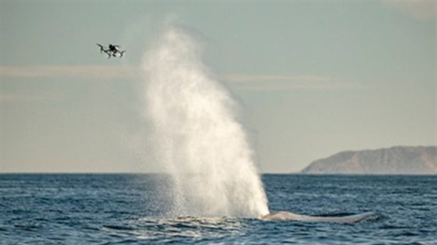 Cá voi xanh phun nước làm chao đảo chiếc drone tò mò