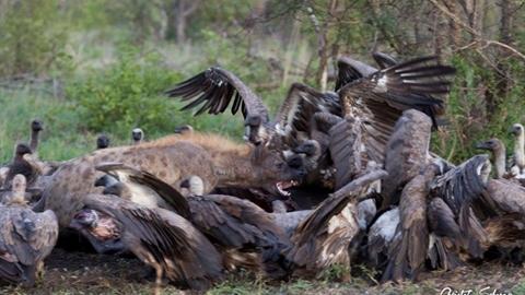 Linh cẩu một mình chiến cả bầy kền kền: Kết buồn