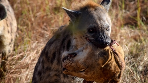 Linh cẩu tha đầu sư tử làm mồi: Sự thật sốc
