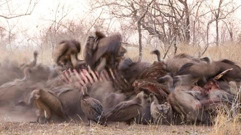 Xác voi bị ăn còn khung xương: Lộ sự thật ngỡ ngàng