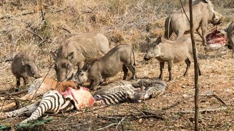 Lợn rừng kéo đàn tới chén thịt ngựa vằn: Lộ nguyên nhân