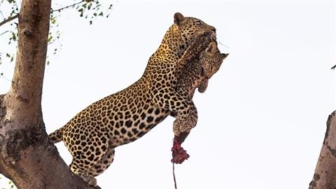Cực hiếm: Báo lớn giết báo nhỏ, đem lên cây ăn thịt