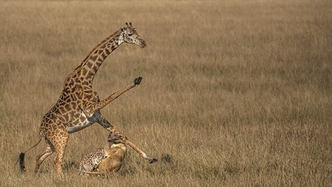 Hươu cao cổ tử chiến với sư tử cố cứu con non