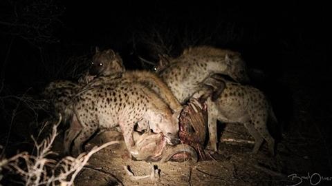 Gặp linh cẩu ranh ma, đàn sư tử ngậm ngùi nuốt hận