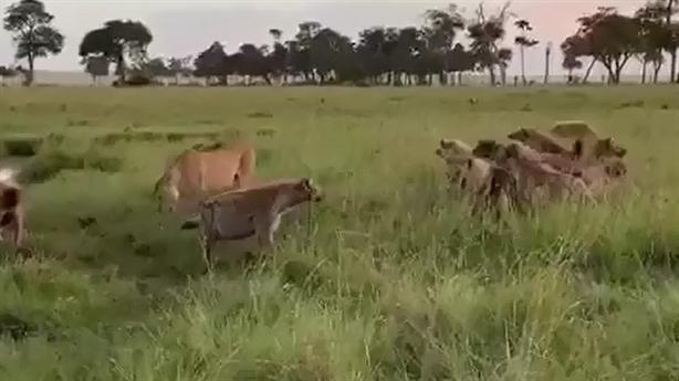 Sư tử bỏ mồi thoát thân khi linh cẩu tấn công