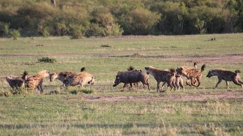 Lợn rừng một mình tử chiến với bầy linh cẩu: Kết sốc