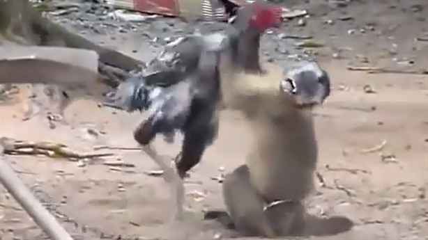 Khỉ thông minh hóa giải đòn gà chọi