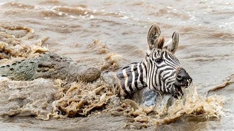 Bị đàn cá sấu vây, ngựa vằn tan xác trong nháy mắt