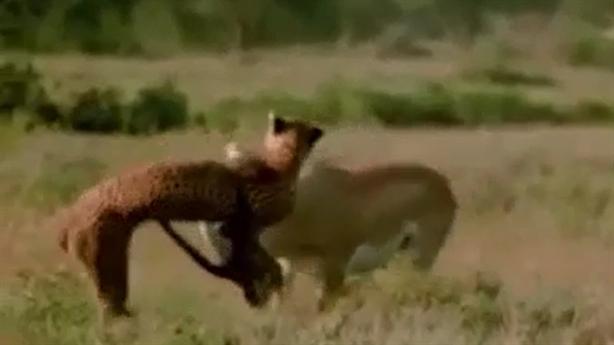 Cú phản đòn của linh dương khiến báo đốm mất mạng