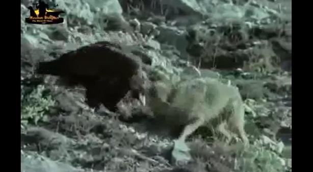 Kền kền no đòn vì dám đuổi sói cướp mồi