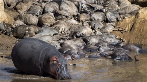 Cái kết linh dương đầu bò vượt sông chỗ hà mã nghỉ