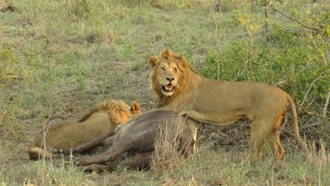 Trâu rừng mang thai chết thảm dưới vuốt bầy sư tử dữ