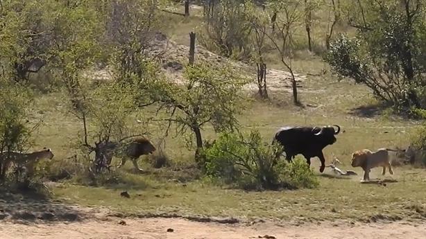 Trâu đánh bại đàn sư tử khi bị dồn sát cá sấu