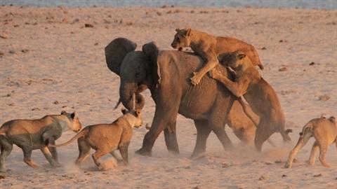 Tử chiến bầy sư tử 14 con, voi non thắng không tưởng