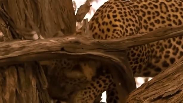 Đại bàng mất mạng vì chén thịt báo con
