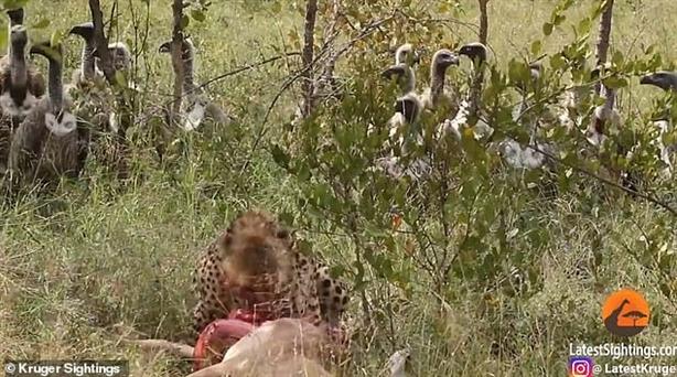 Báo đốm, kền kền, sư tử giành mồi như phim hành động