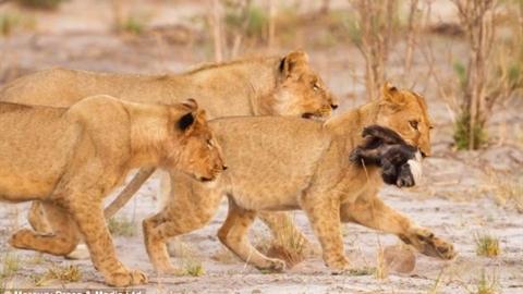 Nhận đòn bất ngờ, 'kẻ bố đời' rơi vào hàm sư tử