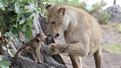 Sư tử giết khỉ mẹ âu yếm khỉ con: Kết khó tin