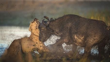 Cứu con, trâu rừng mẹ suýt đoạt mạng đôi sư tử