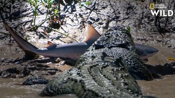 Kinh hãi cảnh cá sấu chén thịt cá mập