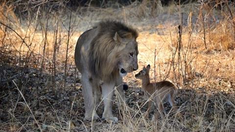 Sư tử âu yếm linh dương con lạc mẹ: Kết tàn khốc...