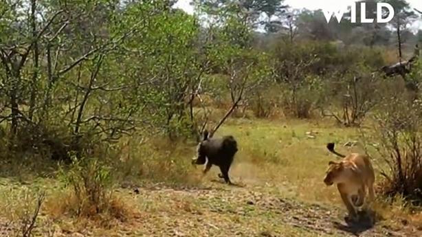 Sư tử gọi cứu viện khi bị khỉ đầu chó phản đòn