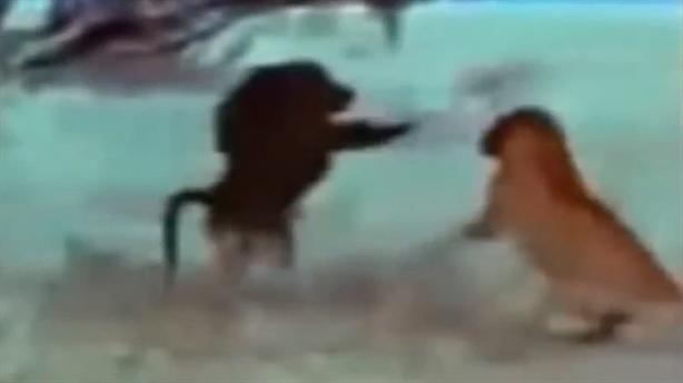 Sư tử bỏ chạy khi một mình đấu khỉ đầu chó