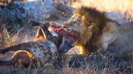 Linh cẩu độc chiến sư tử: Bi kịch...