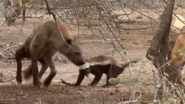 'Kẻ bố đời' khiến đàn linh cẩu háu đói tơi tả